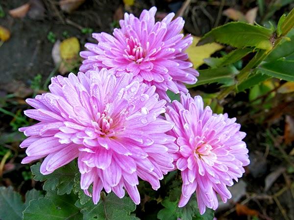 хризантема корейская, дубки