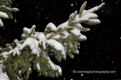 Snow covered fir or pine tree branch on dark background- closeup