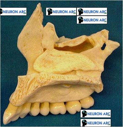 DEVELOPMENT OF MAXILLA PPT