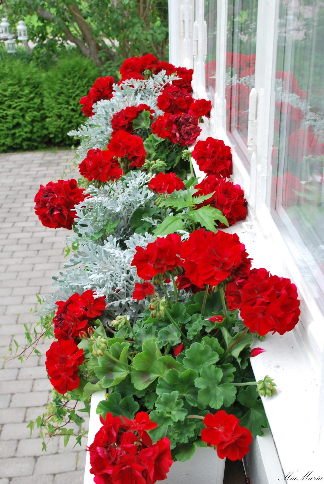 Red geraniums on pinterest geraniums window boxes and gardens - Care geraniums flourishing balcony porch ...
