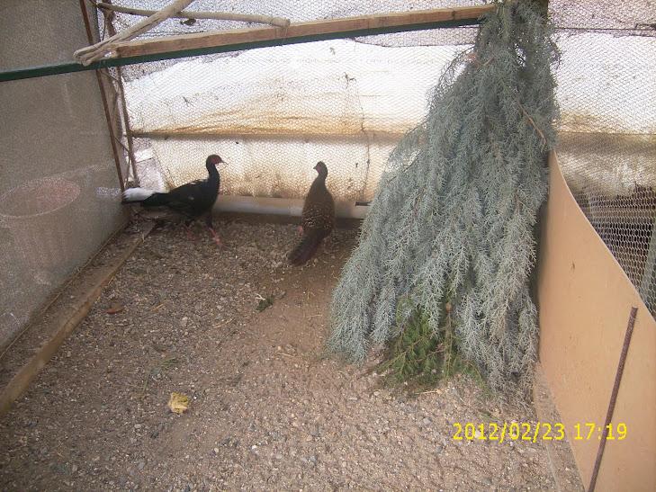 Swinhoe - Aviary