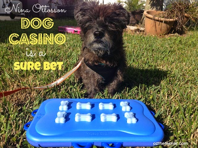 Oz the Terrier: Nina Ottosson Dog Casino Activity Toy is a Sure Bet