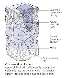 cross section of a corn