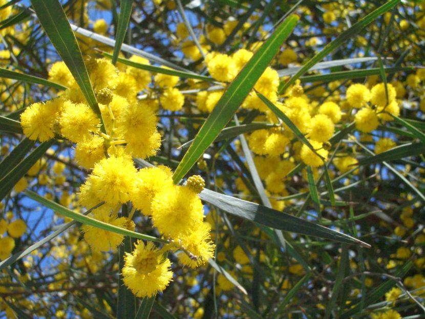 Future plants by randy stewart acacias acacias mightylinksfo