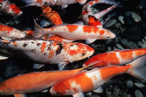 A salt water aquarium fishkeeping Koi carp food for sale
