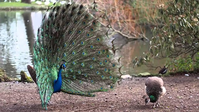 El pavo real (VIDEO 7)