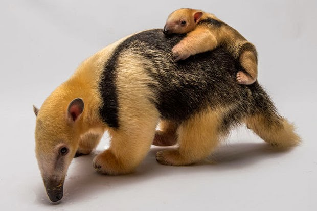 Funny animals of the week - 28 February 2014 (40 pics), baby anteater rides on mommy's back