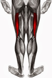 biceps fémoral