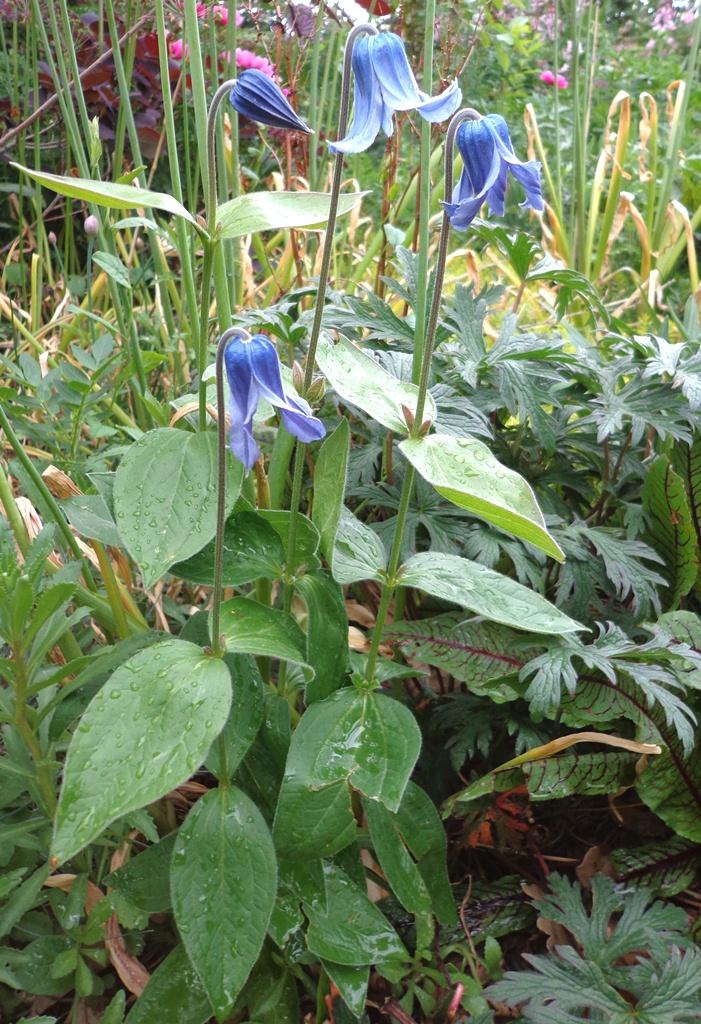 Clematis Integrifolia Seeds Clematis Integrifolia ex