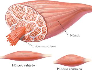 DIBUJO DE LAS CELULAS MUSCULARES