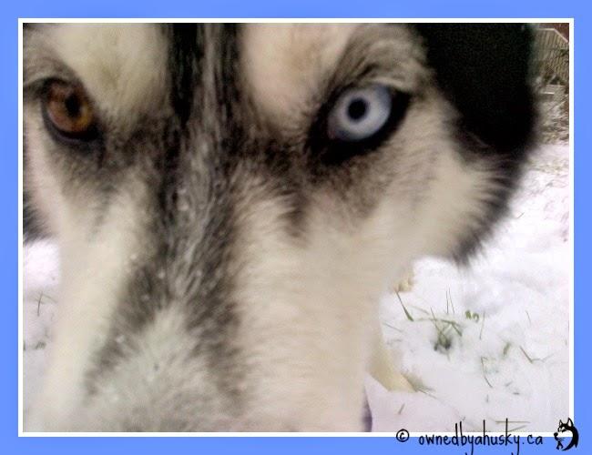 Siberian huskies snow selfies