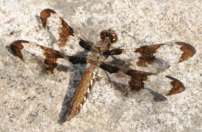 Common Whitetail (Plathemis [Libellula] lydia)