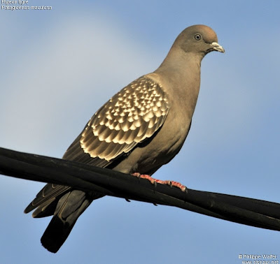 el canto de la paloma manchada Patagioenas maculosa