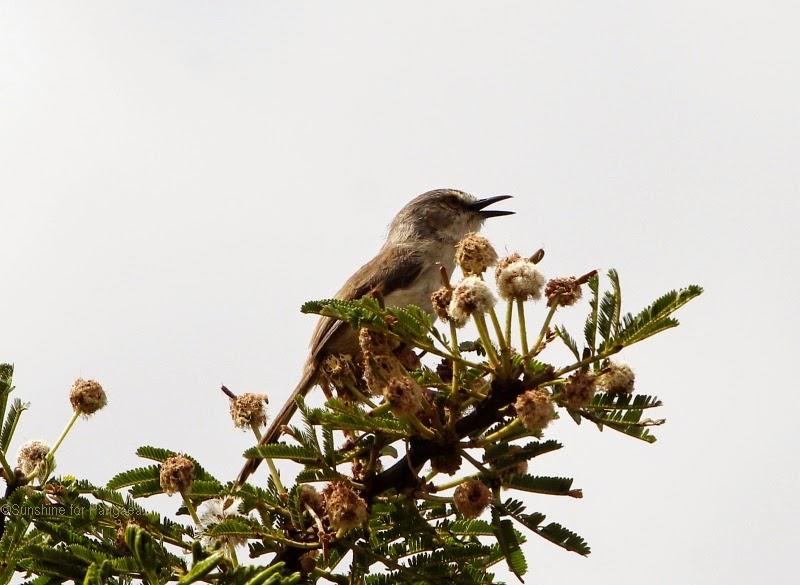 Tawny-flanked Prinia (Prinia subflava)