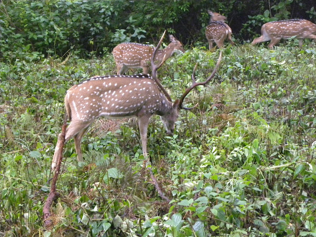 Spotted deers in K Gudi