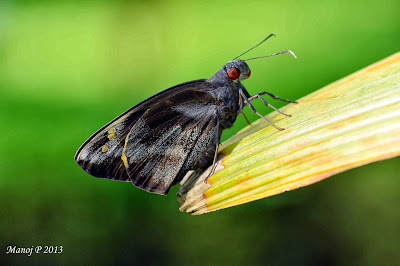 Giant Redeye Gangara thyrsis skipper butterfly life cycle