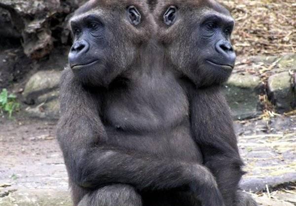 2 Headed Gorilla  10 Headed Animals