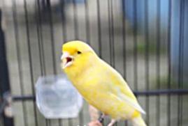 Suara Burung Kicau Terbaik 2015
