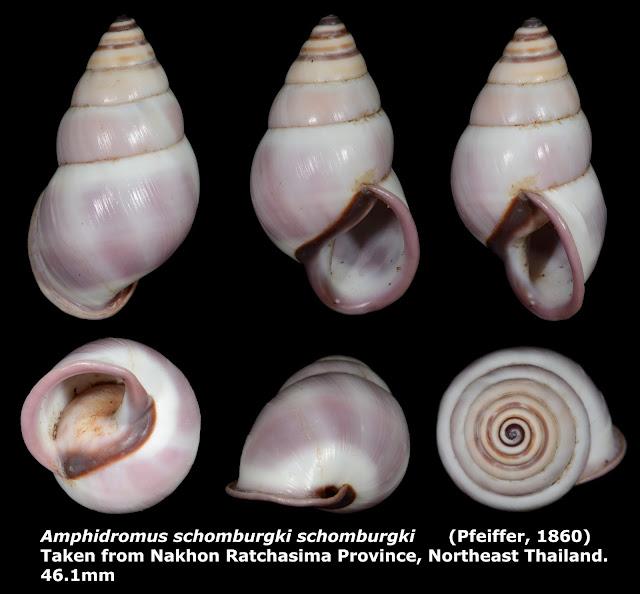 Amphidromus schomburgki schomburgki 46.1mm