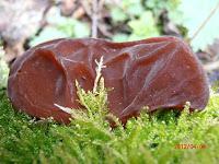 Auricularia auricula-judae ou Oreille de Judas typique