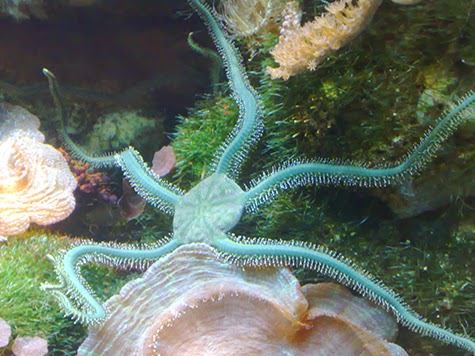 the characteristics of the brittle star marine species Brittle star: brittle star, any of the 2,100 living species of marine invertebrates constituting the subclass ophiuroidea (phylum echinodermata) their long, thin arms—usually five and often.