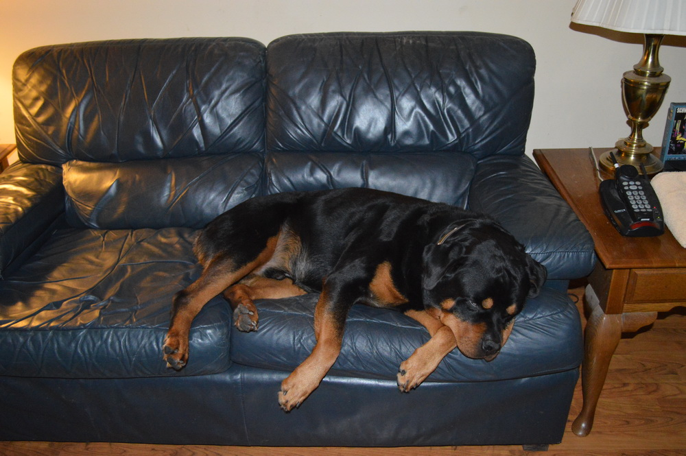 Living with Rottweilers: Resting Rotts -or- Couch Potatoes