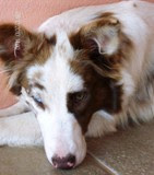 Nick (red merle)