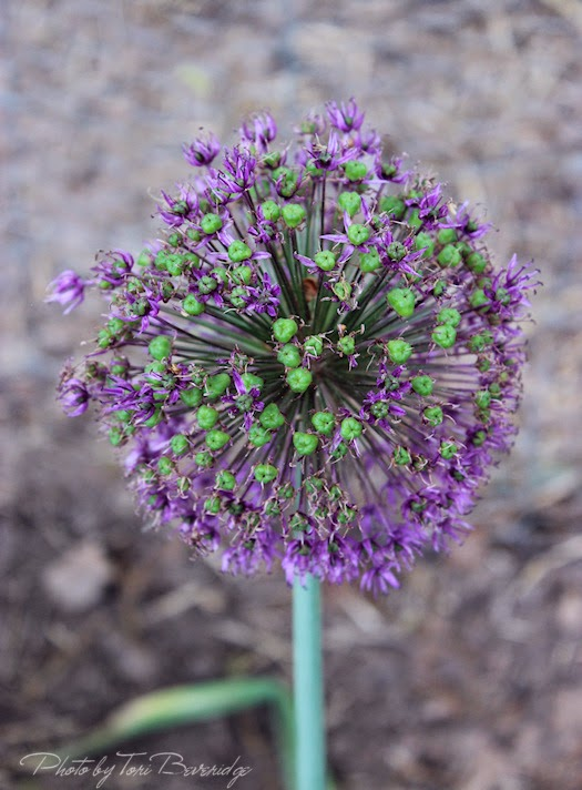 Last of the Allium Photo by Tori Beveridge