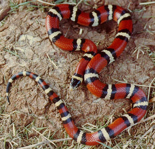 big bend milk snake