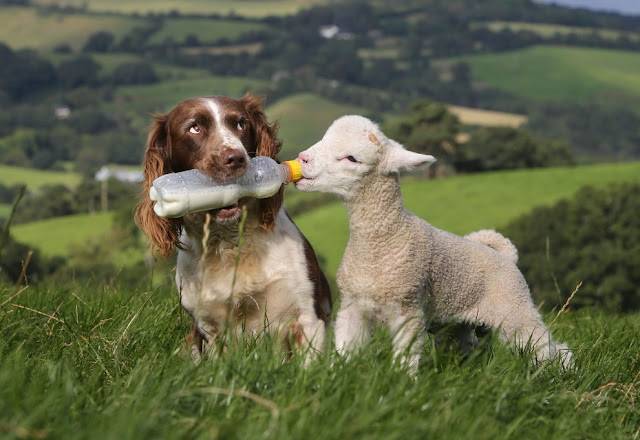 A sheepdog bottle-feeding baby lamb, Jess the sheepdog gives milk to Shaun