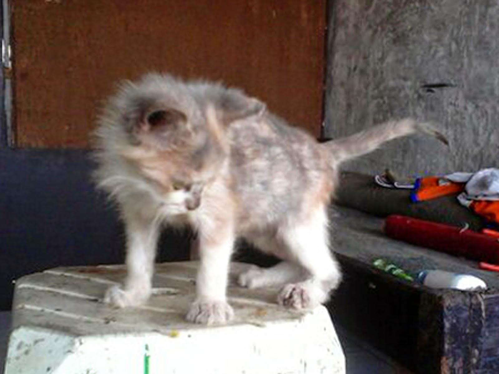 Obral Kucing Persia Anakan Dan Indukan Murah Kaskus