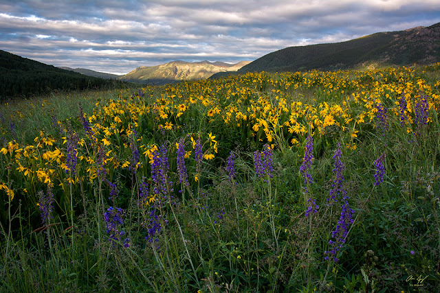 Sunrise in the Elk mountain range with bright yellow wildflowers and lupines