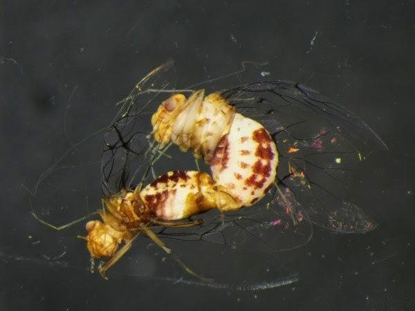 N. curvet mating