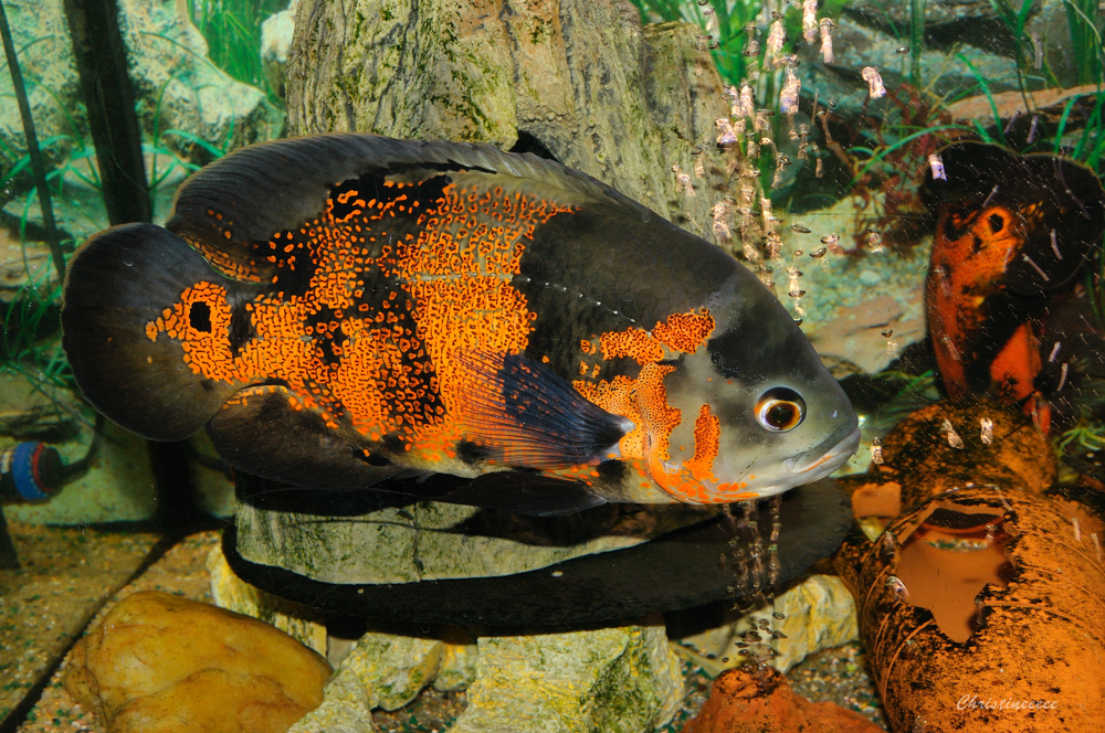 L 39 ardoise magique oscar le poisson for Gros poisson aquarium