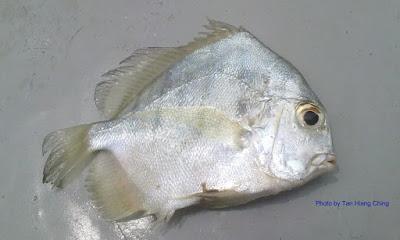 Concertina Fish, Sicklefish, Drepane longimana, Cao Xi