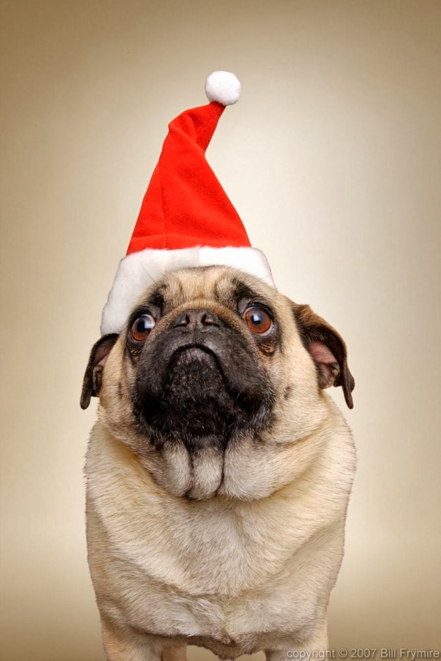 30 christmas pugs who really don t like you and the entire world the