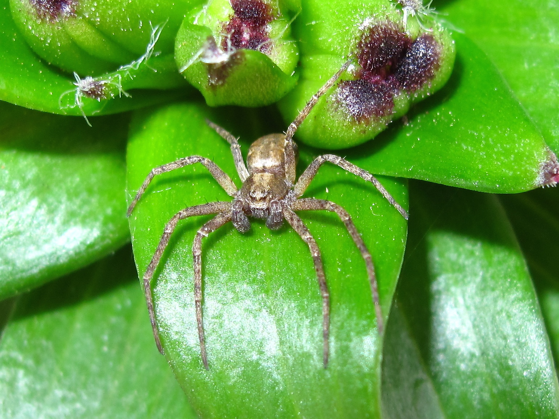 Crab spider preying bumble bee garden spiders spiders flower spiders - Philodromidae Running Crab Spiders