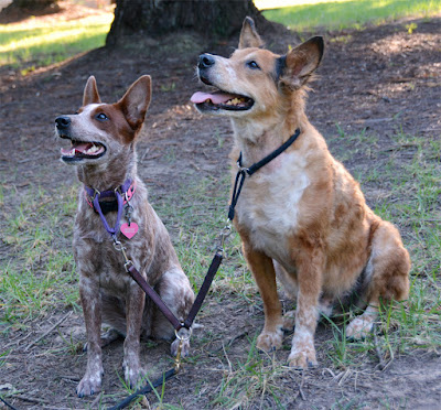 Heelers on dual leash