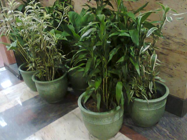 Sewa tanaman bambu sri rejeki