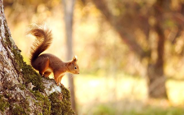 """<img src=""""http://4.bp.blogspot.com/-P6NLcwF03jI/Udvq_wC3ZuI/AAAAAAAAACY/O22AYioqcdE/s1600/squirrel-wide.jpg"""" alt=""""animal wallpapers"""" />"""