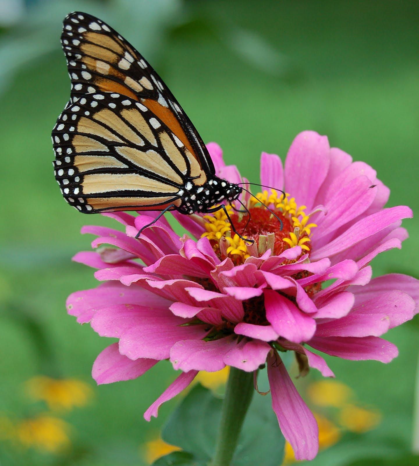 Zinnia flower for Butterfly on flowers