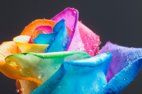Colors of roses mixed colour roses rainbow roses for How to make a multicolored rose
