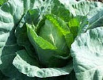 Pointed Head Cabbage
