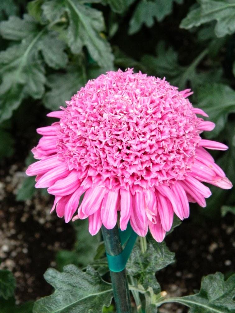 Allan Gardens Conservatory Chrysanthemum Show 2013 fall mum detail by garden muses-a Toronto gardening blog