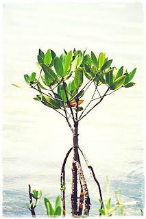 Eksistem Mangrove