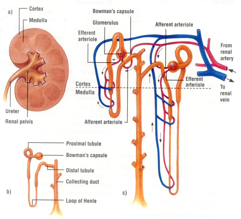 Andrew Biology: Nephron Structure