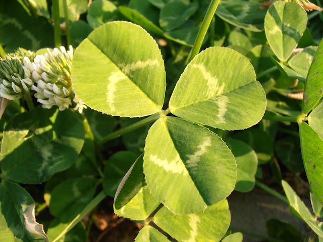 Hoja de TRÉBOL BLANCO: Trifolium repens