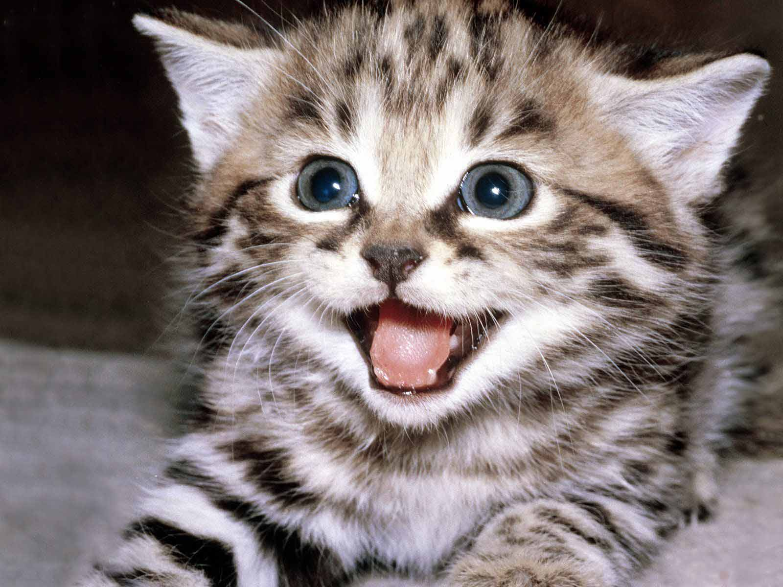 Cat Face Cute Kitten