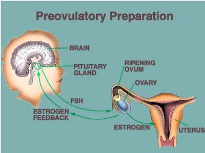 Gambar 1. Kompleks Hipotalamus-Hipofisis-Ovarium