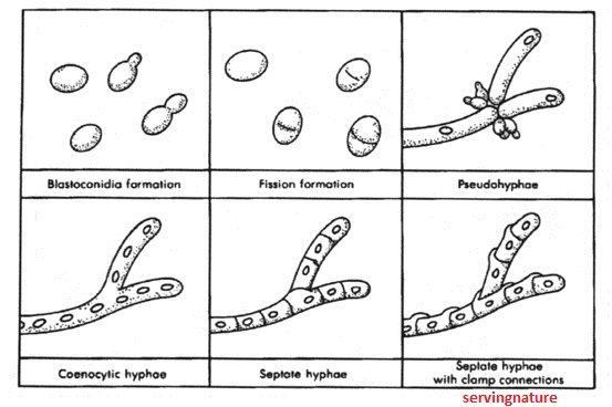 Fungus Morphology